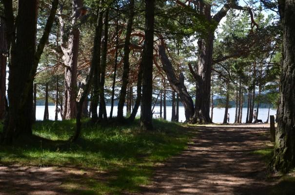Bewaldeter Teil des Campingplatze Glenmore Site, direkt am Loch Morlich gelegen ©entdecker-greise.de