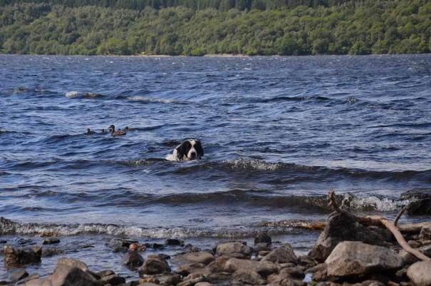 Carda schwimmt mit den Enten im Loch Lomond um die Wette - doch leider verloren ... ©entdecker-greise.de