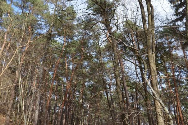 Kiefernwälder - für mich der Inbegriff von Erholung und Entspannung! Auch das gibt es hier auf dem Pfälzer Höhenweg. ©entdecker-greise.de