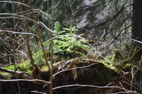 Der kleine Feenwald, gewachsen auf einer alten Wurzel. ©entdecker-greise.de