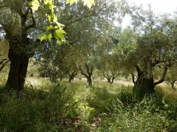 Knorrige alte Olivenbäume auf dem Weg zum Geisterschloss auf Sithonia ©www.entdecker-greise.de #corfelios